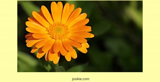 Manfaat Bunga Calendula Untuk Kulit Wajah